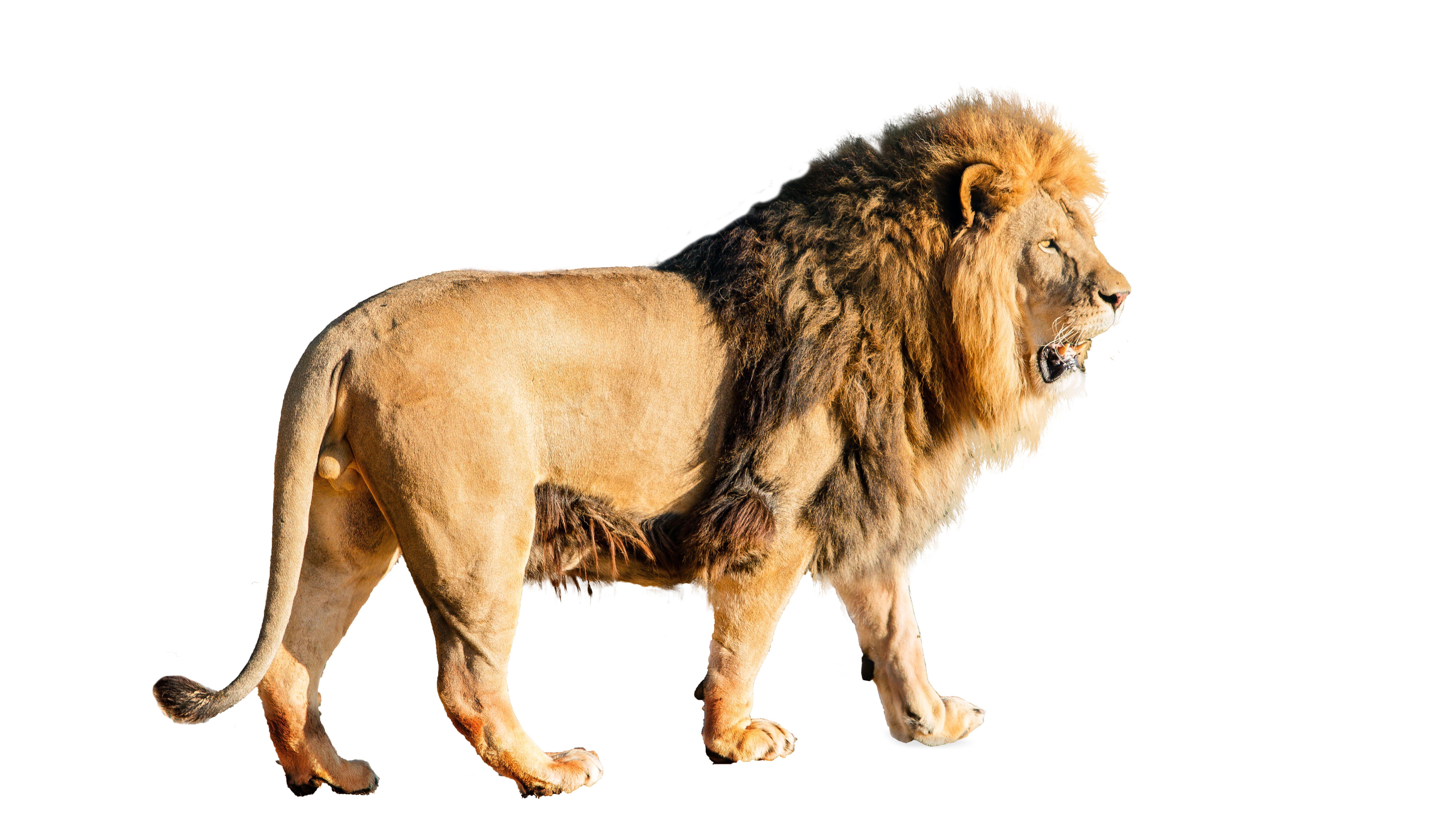 African Lion Facts: Habitat, Diet, Behavior