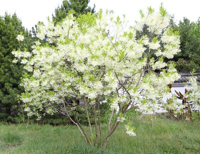 fringe tree grows in any light and is a spring flowering beauty
