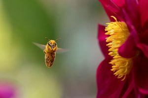Honeybee Pollinator