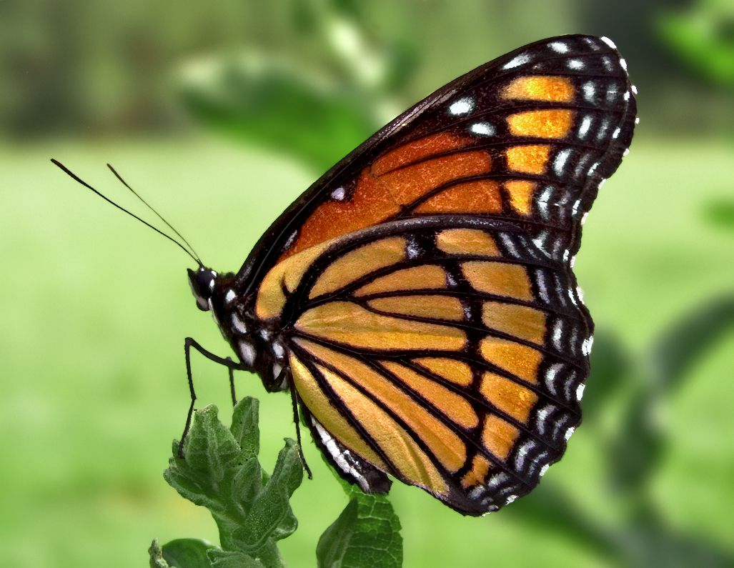 Viceroy butterfly close up.