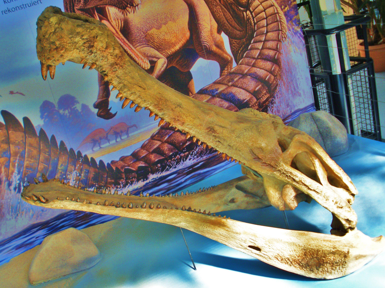 Skeletal head of <i>Sarcosuchus</i>