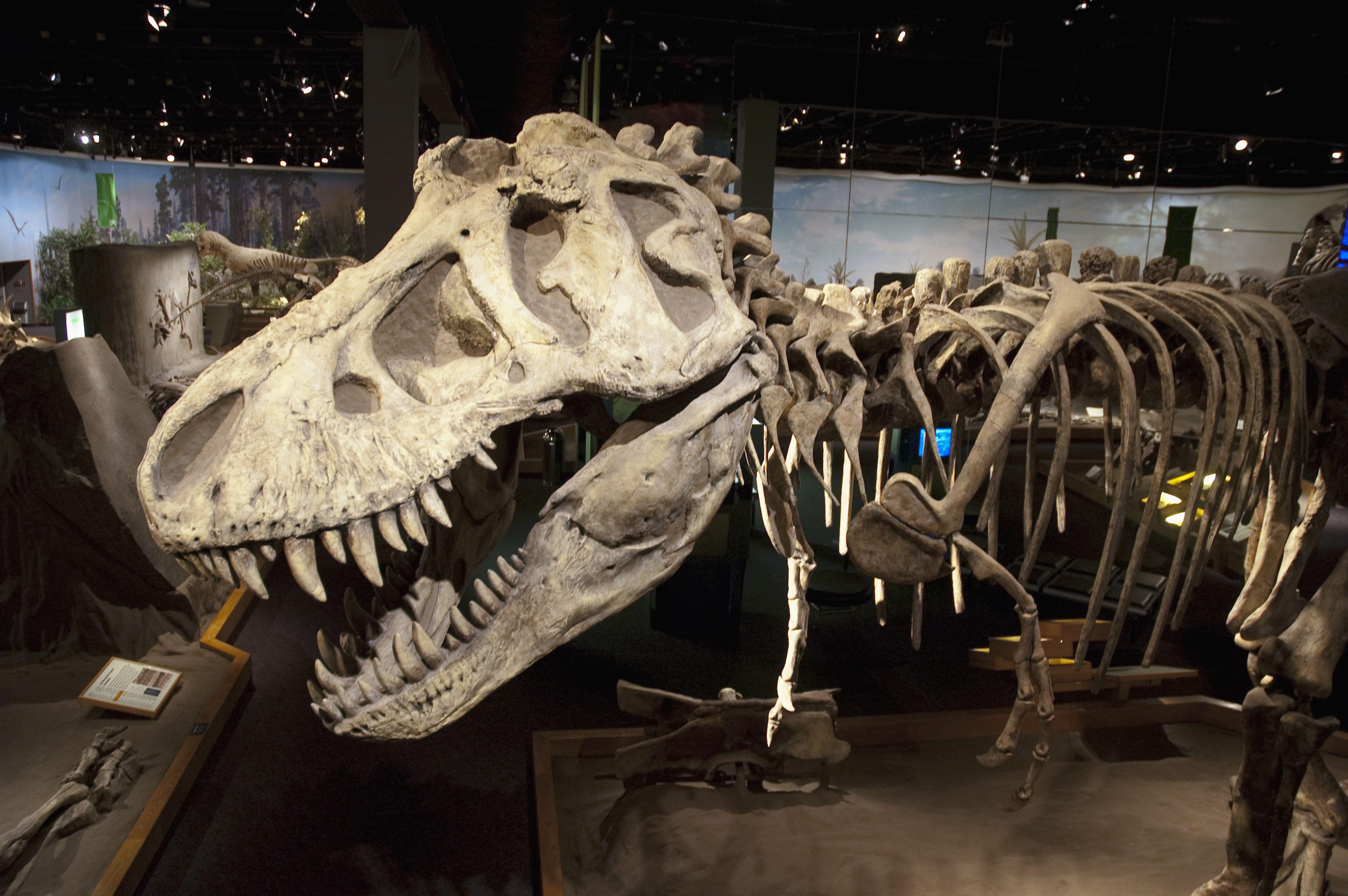 Giganotosaurus, Royal Tyrell Museum, Drumheller, Alberta, Canada