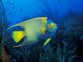 A Queen Angelfish ((Holacanthus ciliaris) at Pink Beach