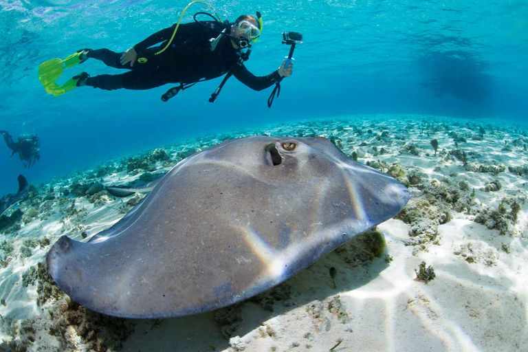A scuba diver watches a stingray.