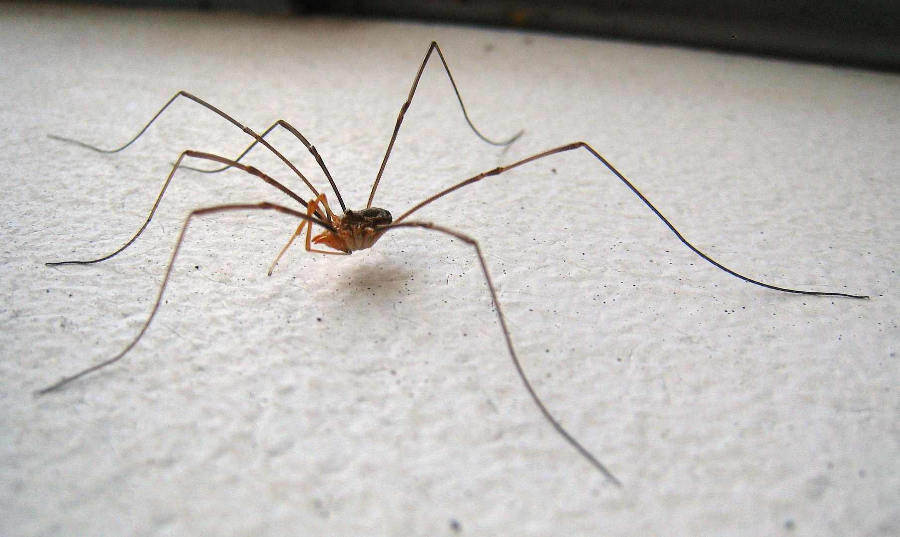 Harvestman on a white background.