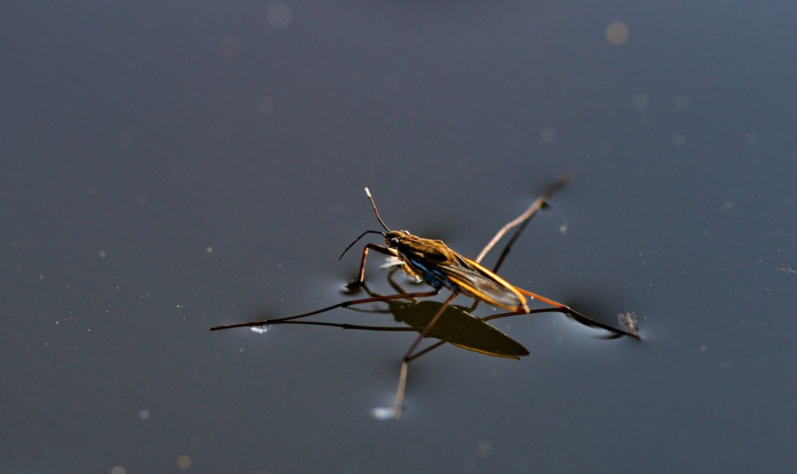 Water strider on the surface of water