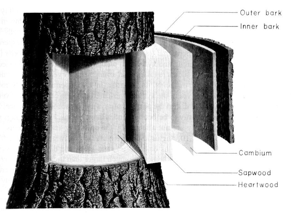 tree tissue diagram