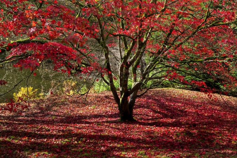 All About Red Maple Trees And Where To Plant Them