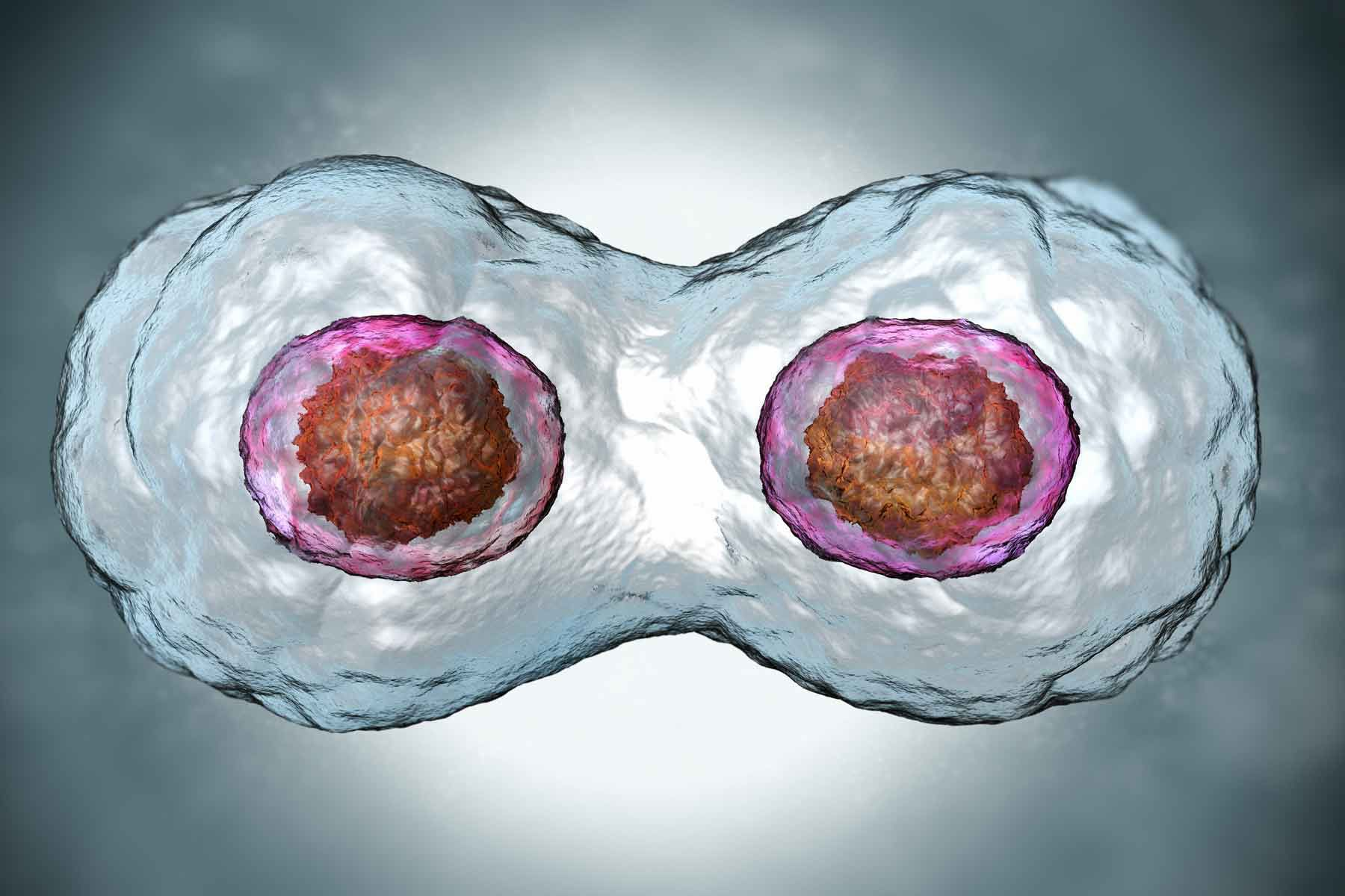 A zygote undergoing Mitosis, or cell division.