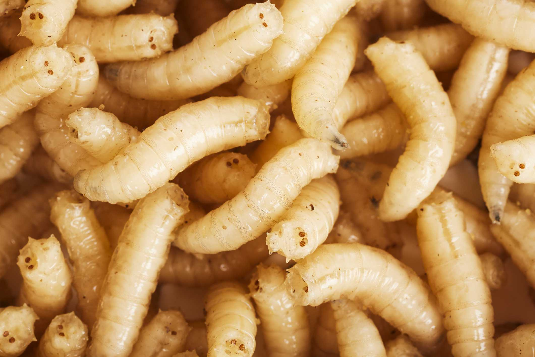 The 5 Forms Of Insect Larvae