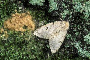 Gypsy moth female with egg mass