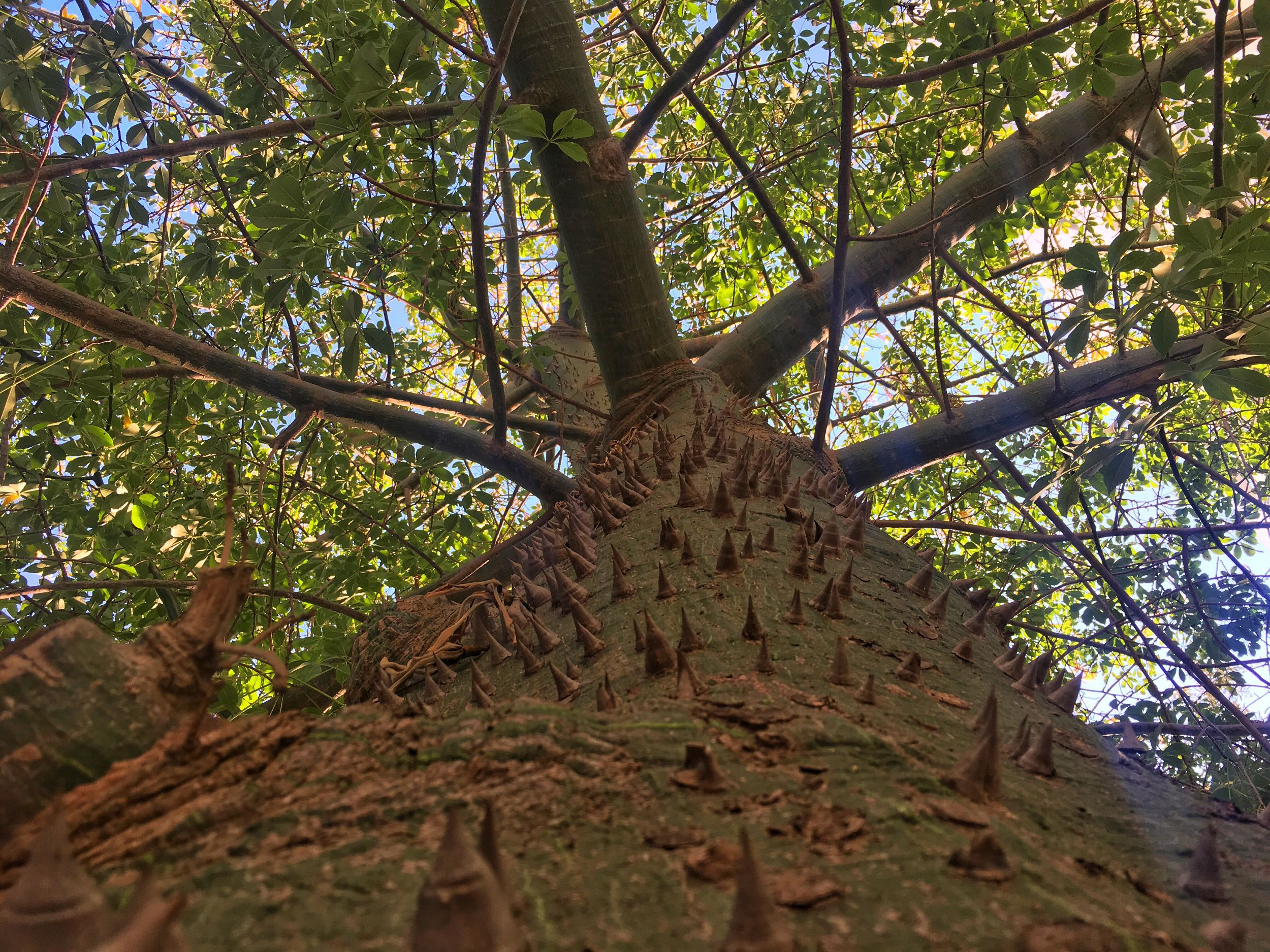 Looking along a Kapok Tree into the Canopy