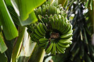 Low Angle View Of Unripe Bananas.