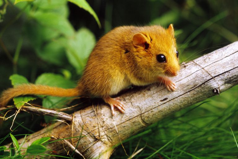 Rodents - Rodentia