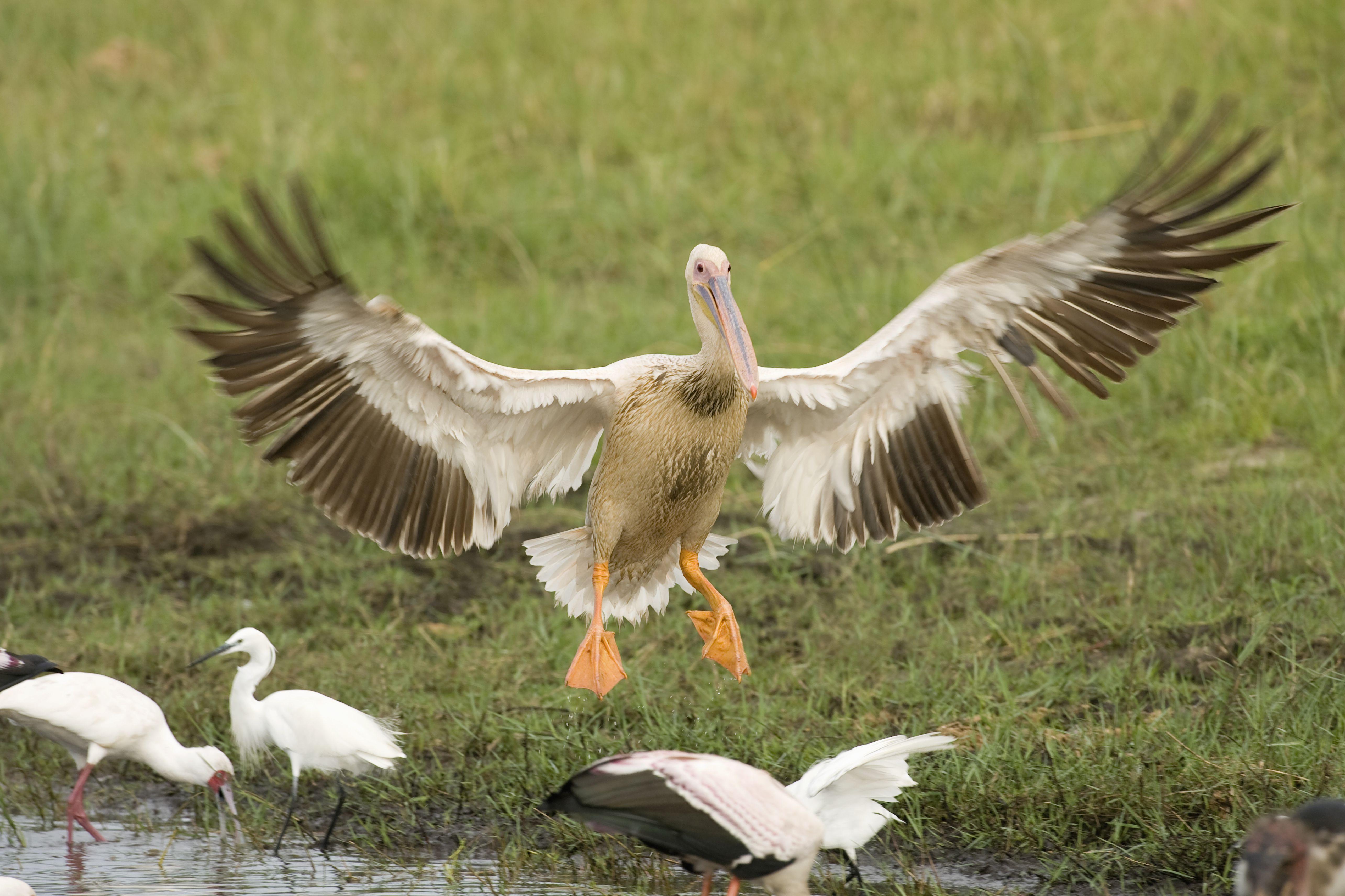 Pink-backed Pelicans (Pelecanus rufescens) landing, Okavango Delta, Botswana