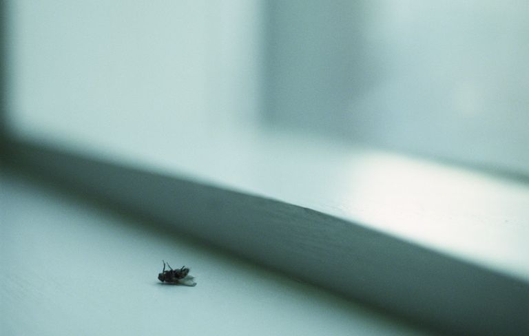 Dead Fly on Window Sill