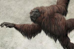 Dryopithecus=Hispanopithecus laietanus, a basal hominidae from the Spanish Miocene epoch.