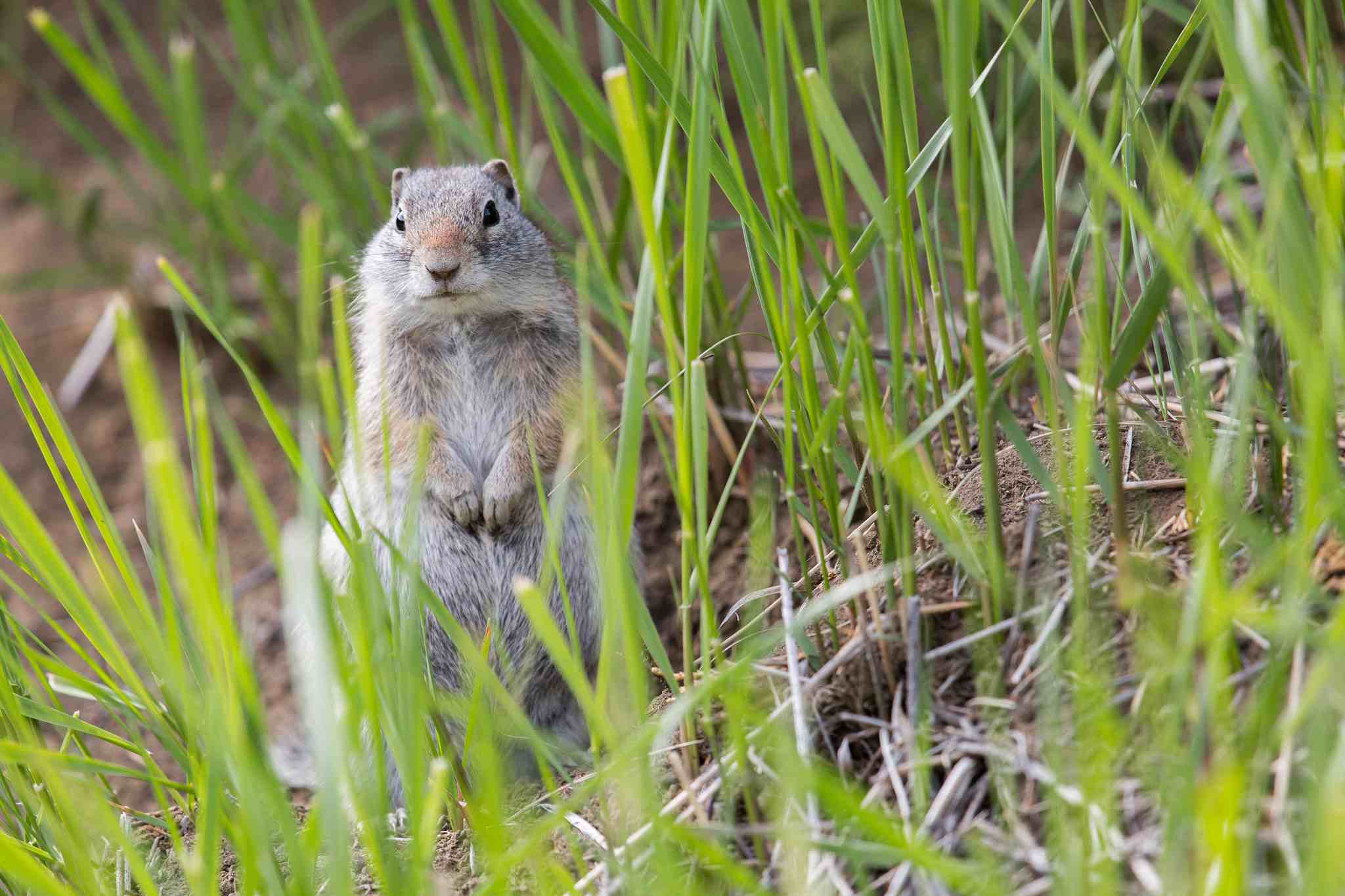 Uinta ground squirrel sitting in the grass looking at the camera.