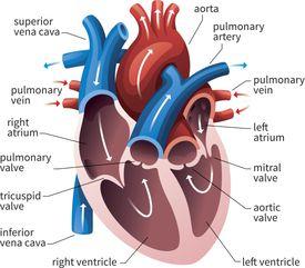 Human Heart Circulatory System