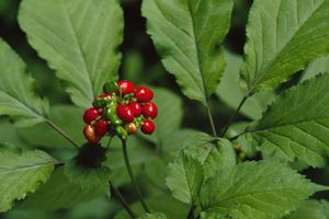 Ginseng Plant With Berries