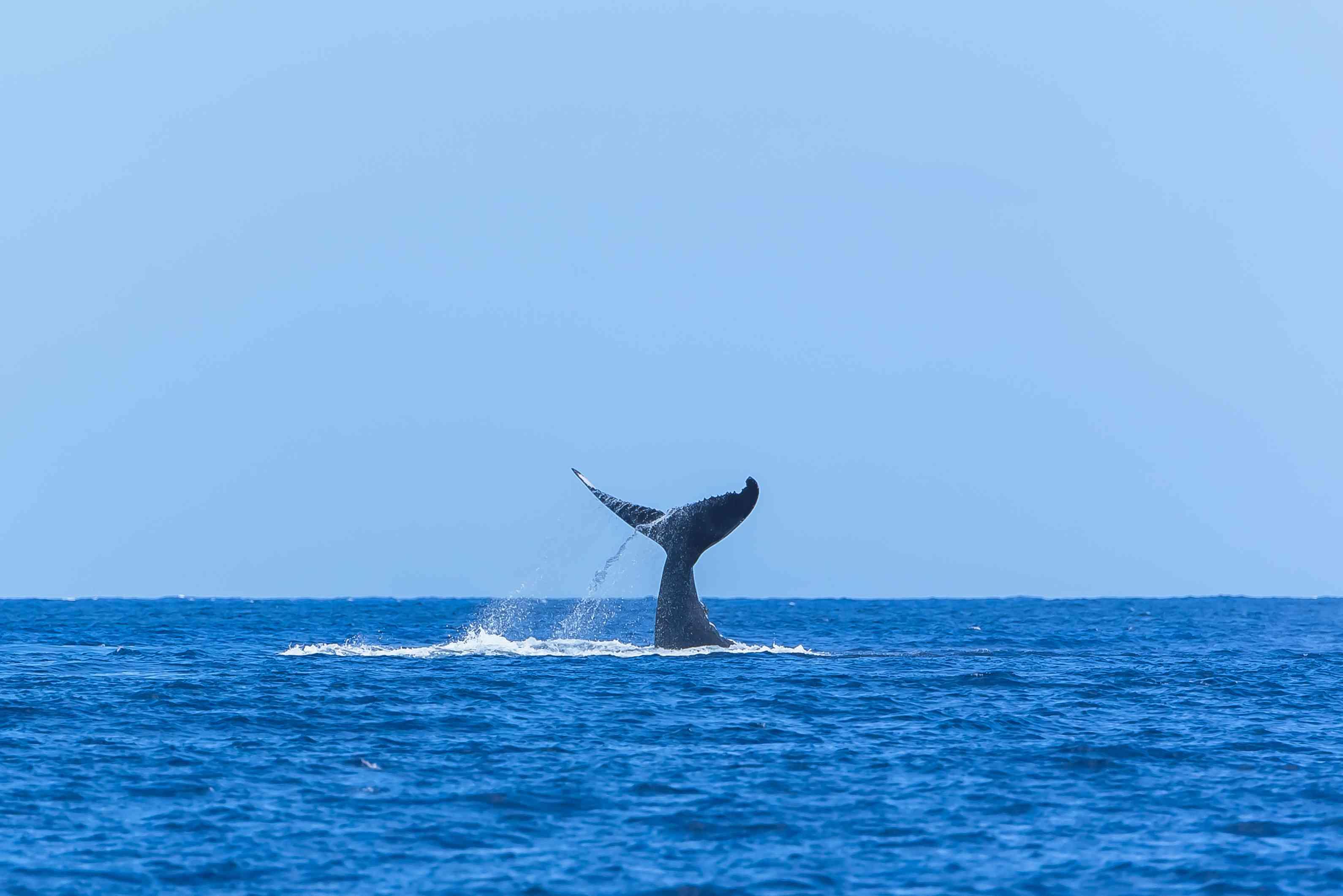 Humpback whale swimming