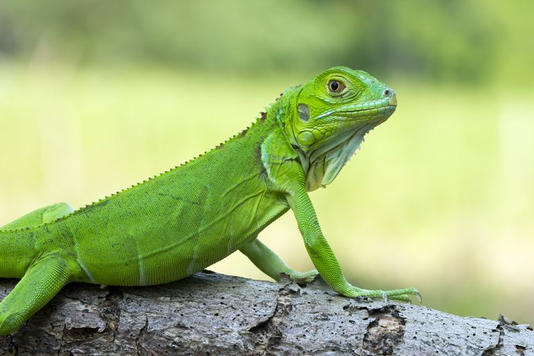 Interesting Iguana Facts