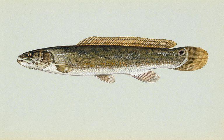 bowfin illustration