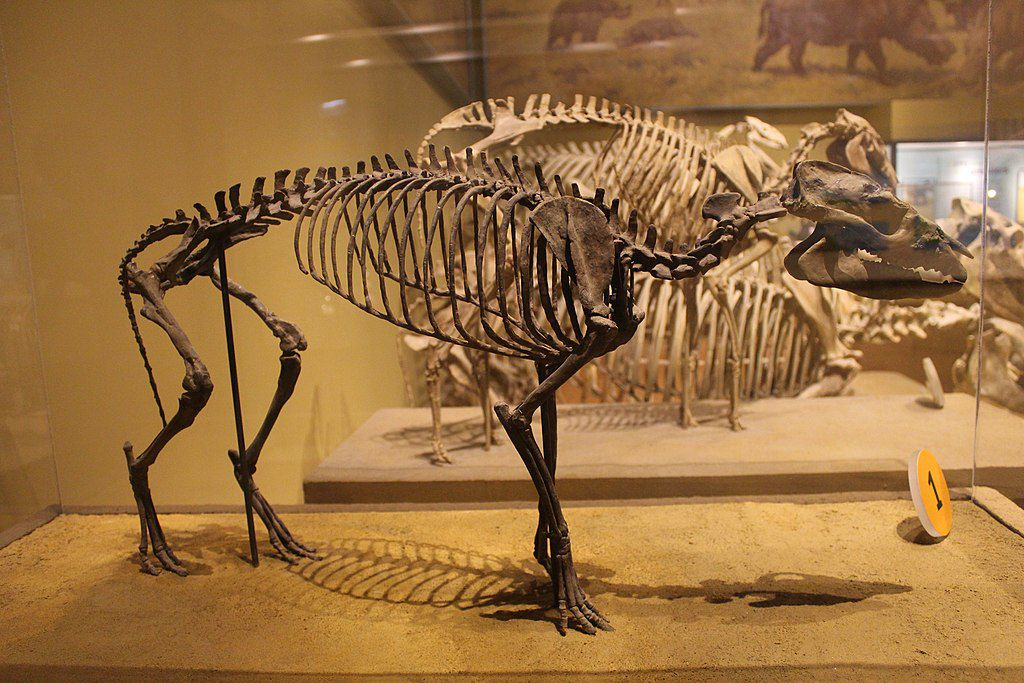 Hycrotherium skeleton in a museum