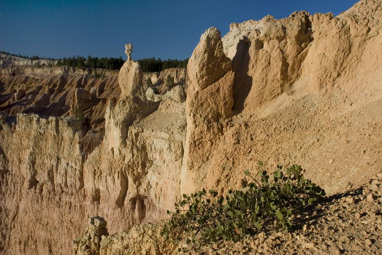 Cliffside plant and hoodoos, Sunrise point, Bryce Canyon National Park, Utah.