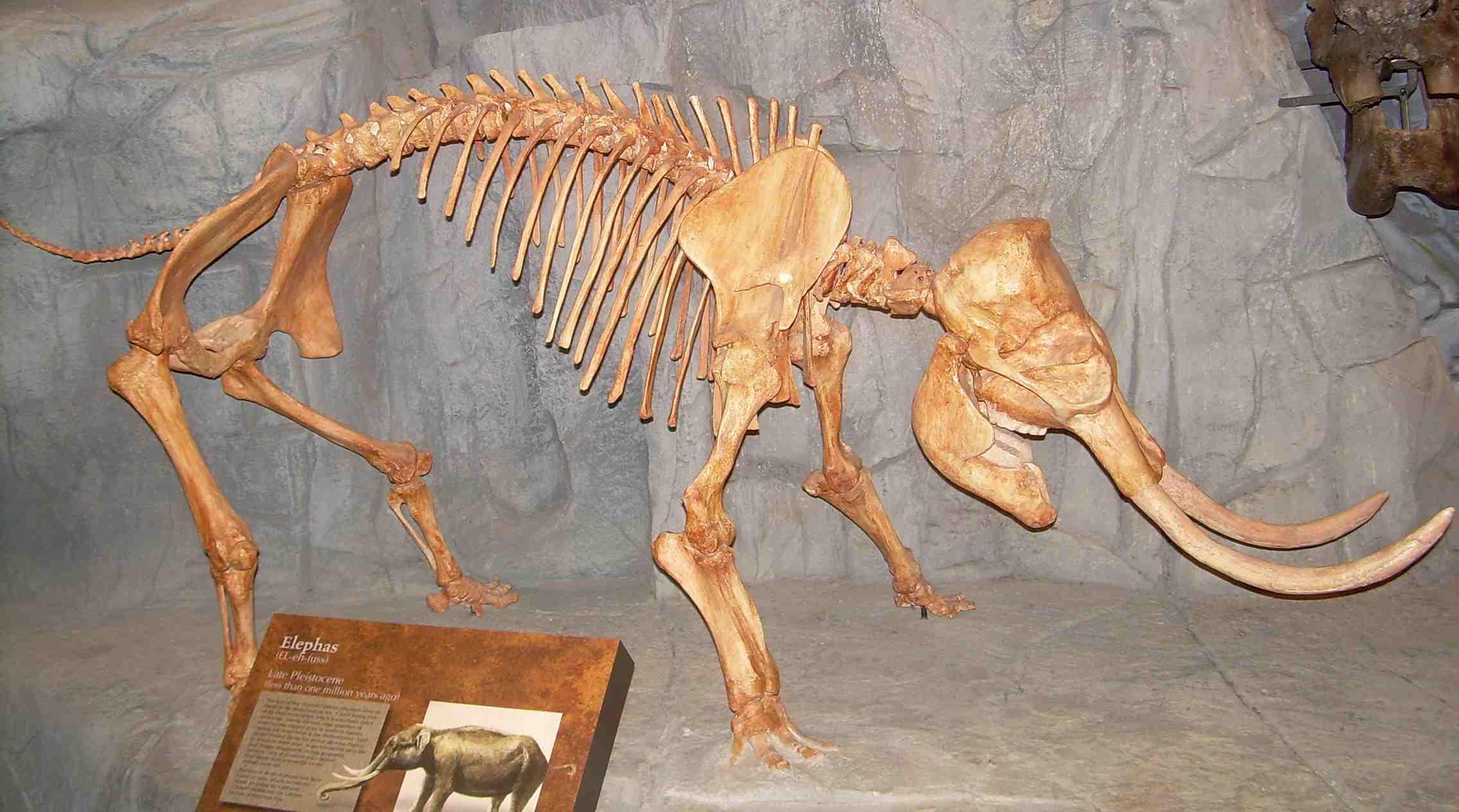 A typical Dwarf Elephant