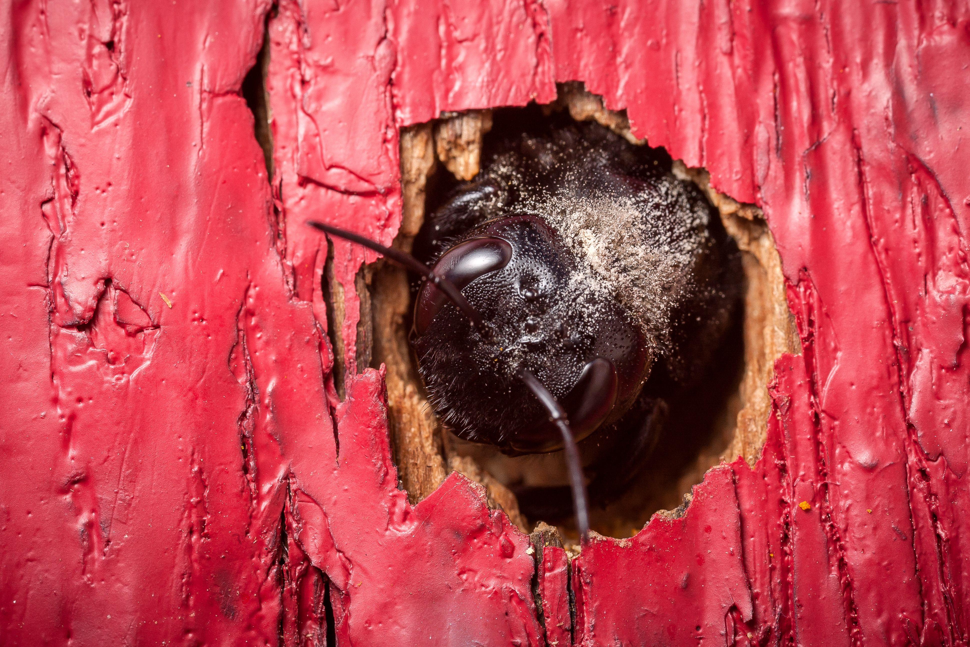 Cómo deshacerse de las abejas carpinteras