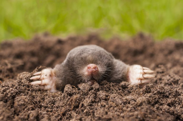 Mole coming out of molehill