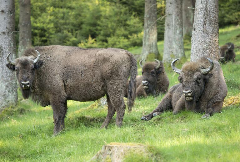 European Bison Project Seeks A Return To The Wild