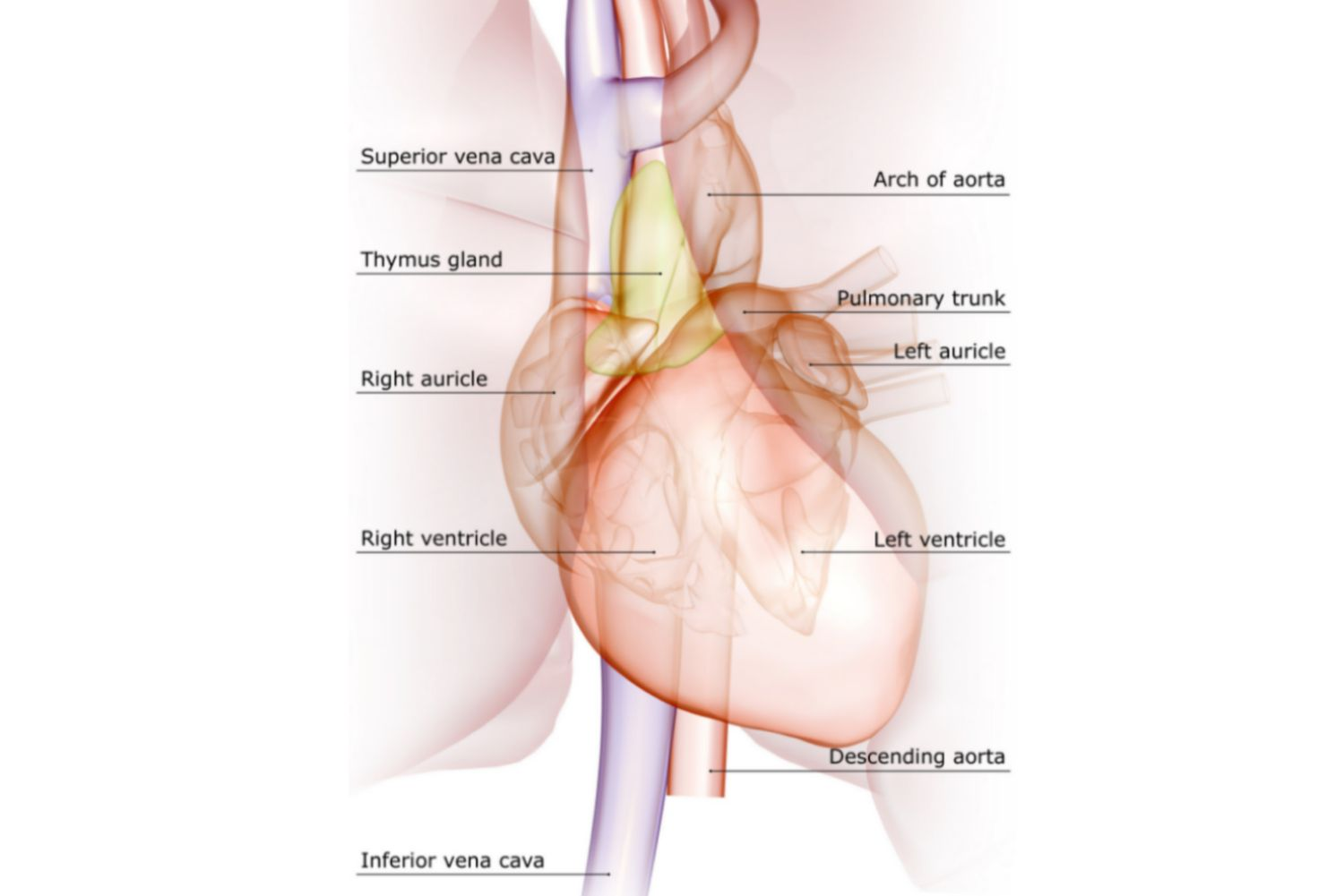 Major veins and arteries of the heart labeled on a diagram.