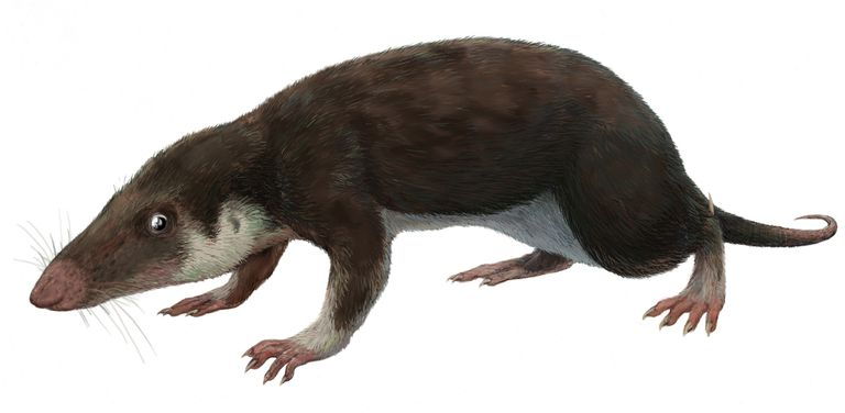 Morganucodon, a close relative of Eozostrodon