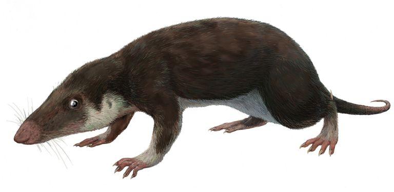 Morganucodon, a close relative of Eozostrodon