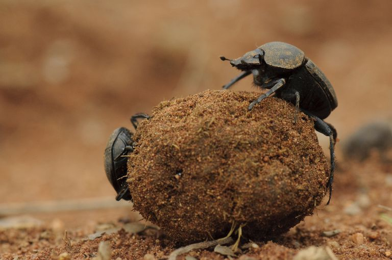 Dung beetles rolling a ball of dung