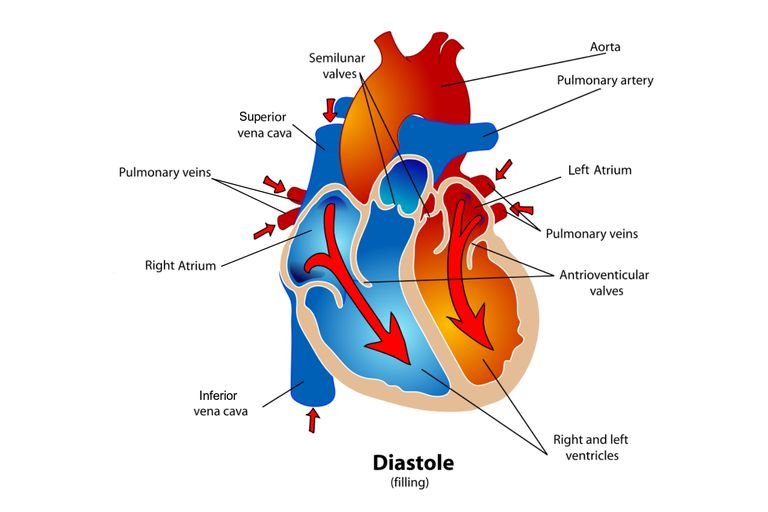 Phases of the cardiac cycle when the heart beats diagram of the heart during the diastole phase of the cardiac cycle ccuart Image collections