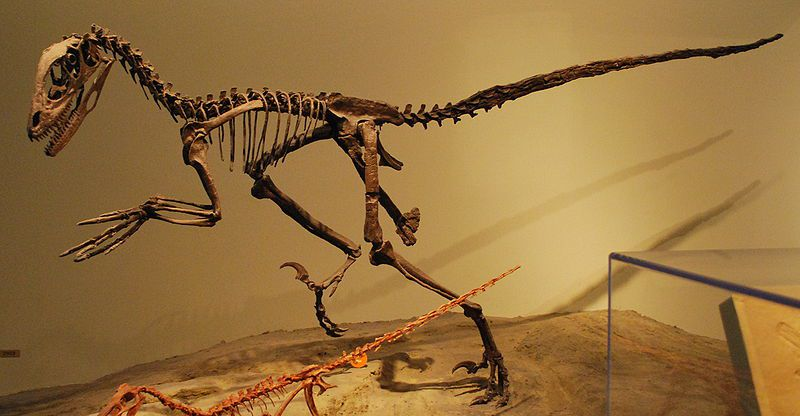 <i>Deinonychus</i> skeletal mount at Chicago's Field Museum of Natural History