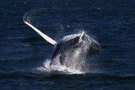Whale Watching Season Underway On Australia's East Coast