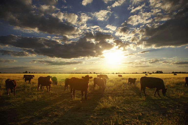 cattle in Argentina