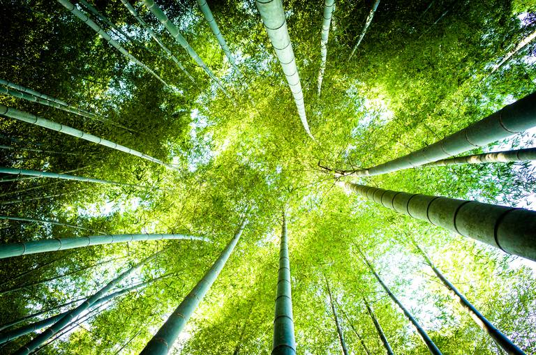 Looking up in the bamboo grove