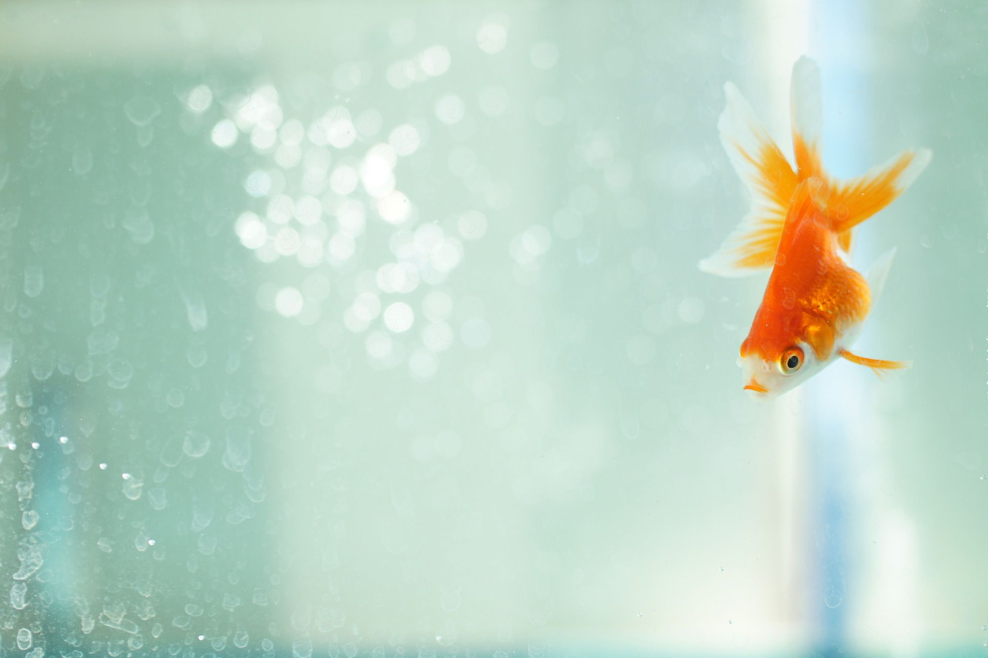 Find out Why a Goldfish Turns White If Left in the Dark