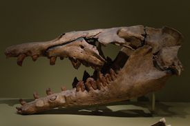 Basilosaurus skull