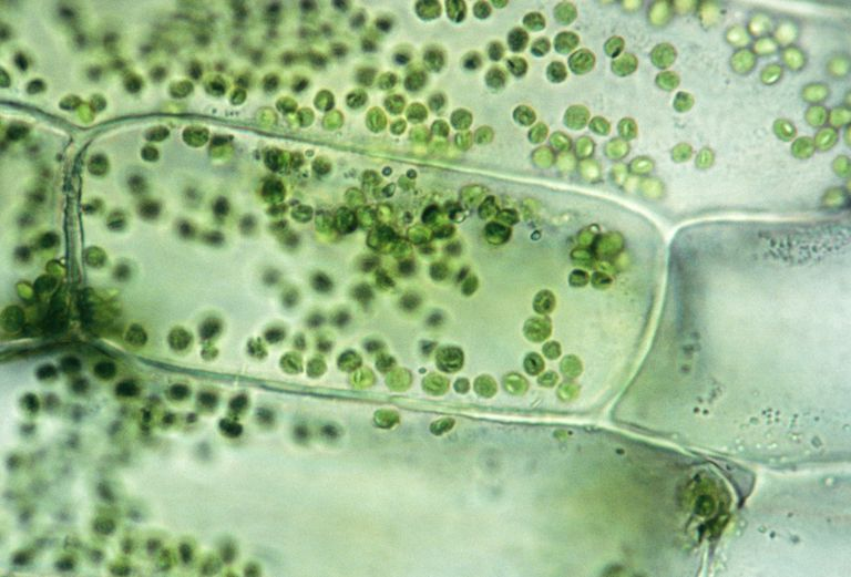 PLANT CELL ELODEA, ISOTONIC SOLUTION SHOWS CELLS, CHLOROPLASTS 250X at 35mm