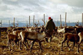 Sami Reindeer Herd, Sweden