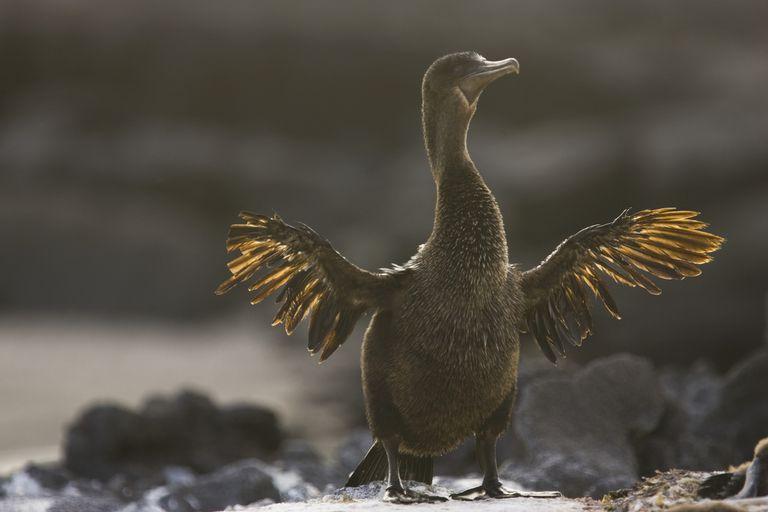 Flightless Cormorant or Galapagos Cormorant -Phalacrocorax harrisi-, Narborough Island, Galapagos Islands