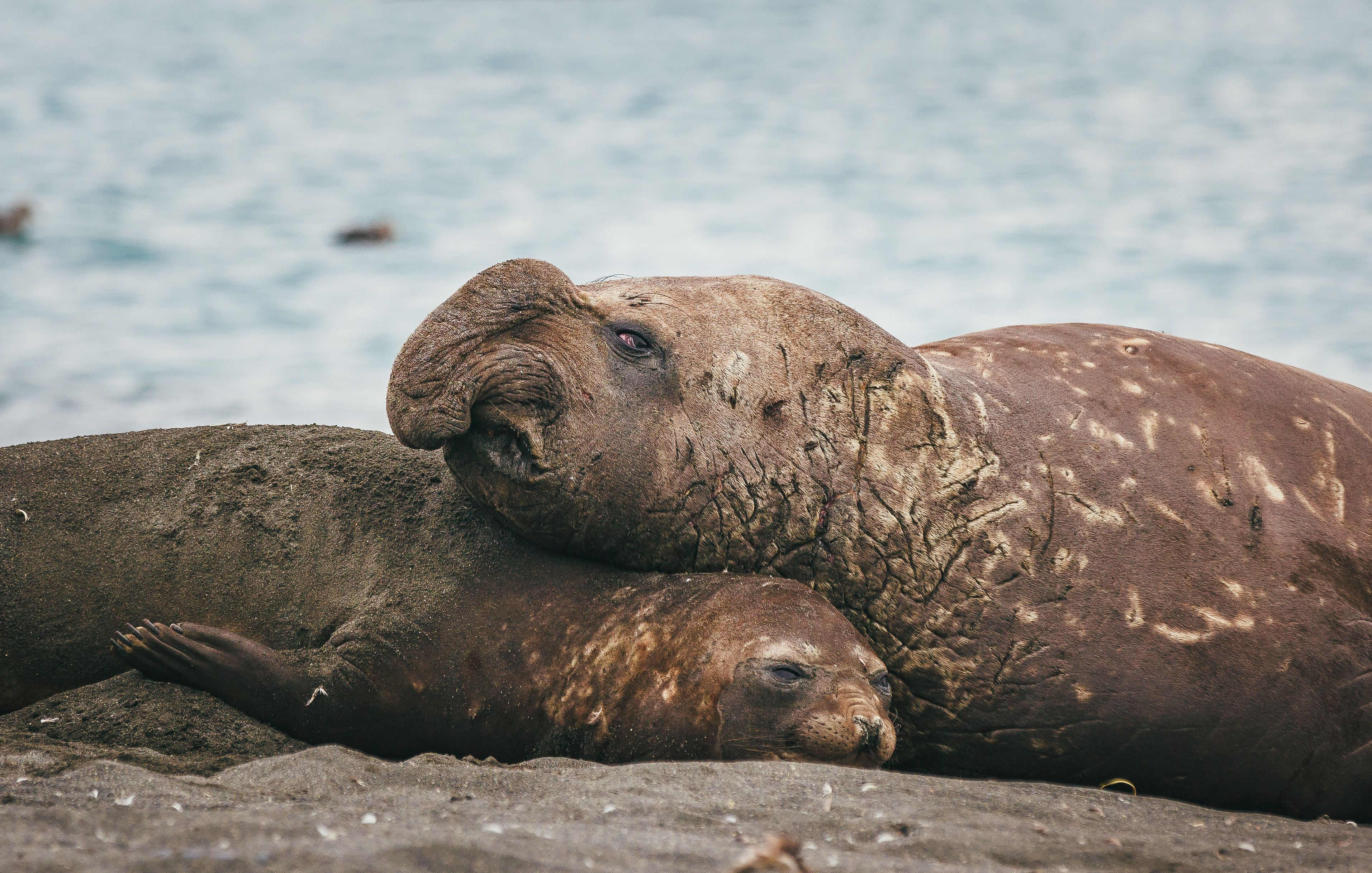 A bull elephant seal is much larger than a cow.