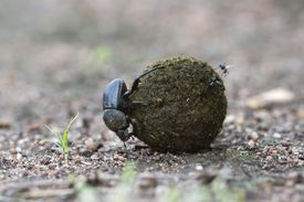 Insects on the ground with poop or