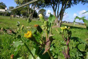 Sonchus oleraceus flowerhead3 NC